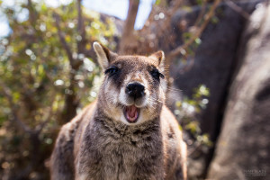 Happiest Wallaby in the World