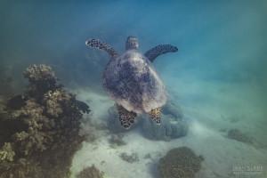 Terrific Turtle Ningaloo